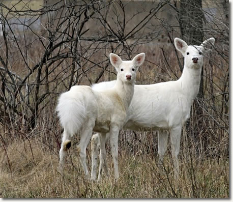 Two Seneca White Deer stand together, turning their heads toward the foreground.
