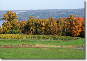 View of the vineyard with Cayuga Lake in the background